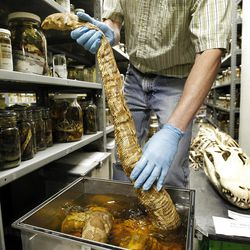 Ned S. Gilmore, collections manager of vertebrate zoology, shows an Indian python, in the collection at the Academy of Natural Sciences Friday, March 23, 2012 in Philadelphia. The Academy is celebrating its bicentennial by offering the general public some rare behind-the-scenes tours of their some 18 million specimens for what's believed to be the first time in 200 years. (AP Photo/Alex Brandon)