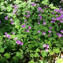 Wood sorrel: Not to be confused with clover, Wood Sorrel likes shade and is likely to be found in patches close to wild violets, cleavers, etc.  It only takes a little bit to spice up a salad, don't over do it as the oxalic acid could upset your stomach.