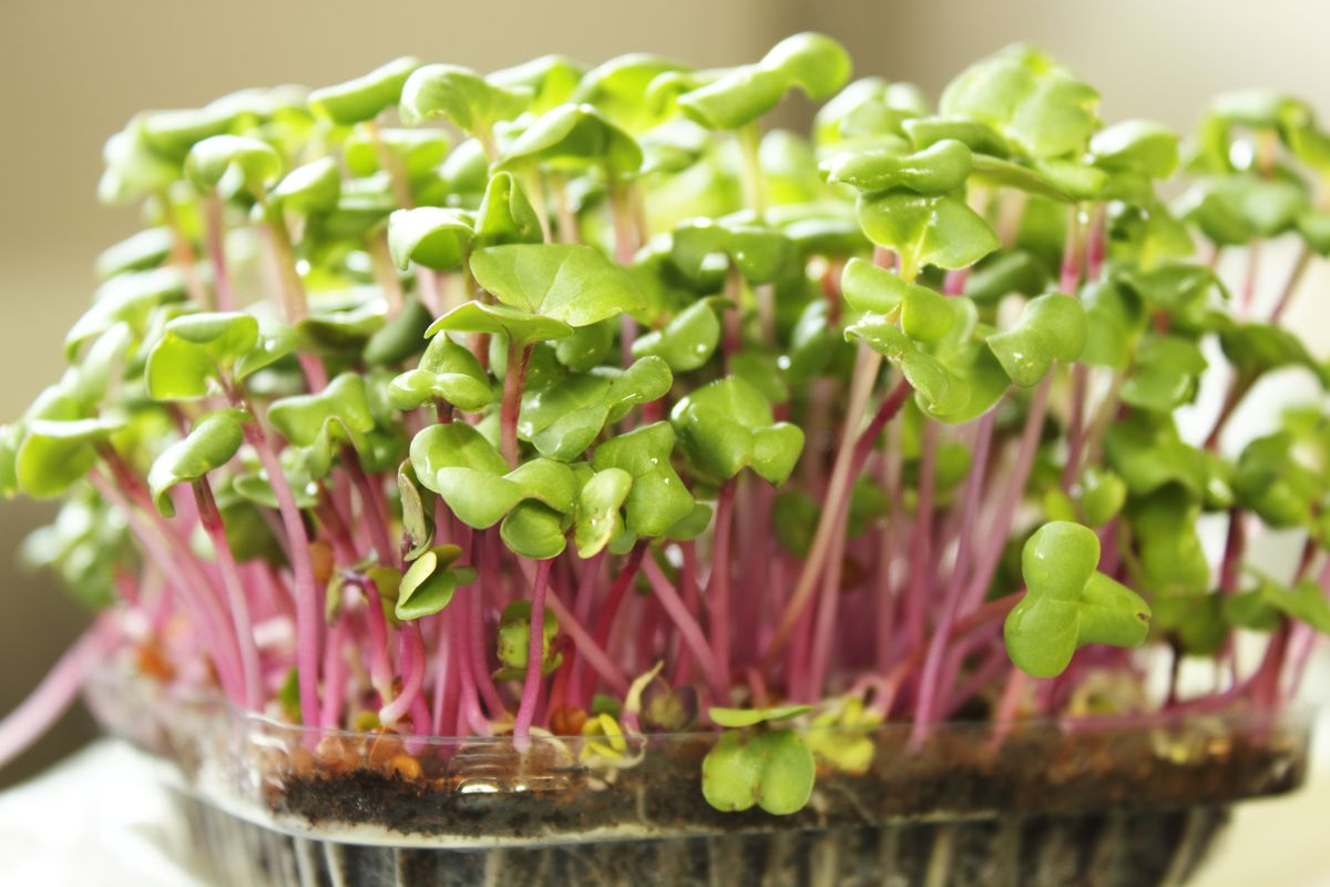 Microgreens — tiny, tasty and packed with nutrients