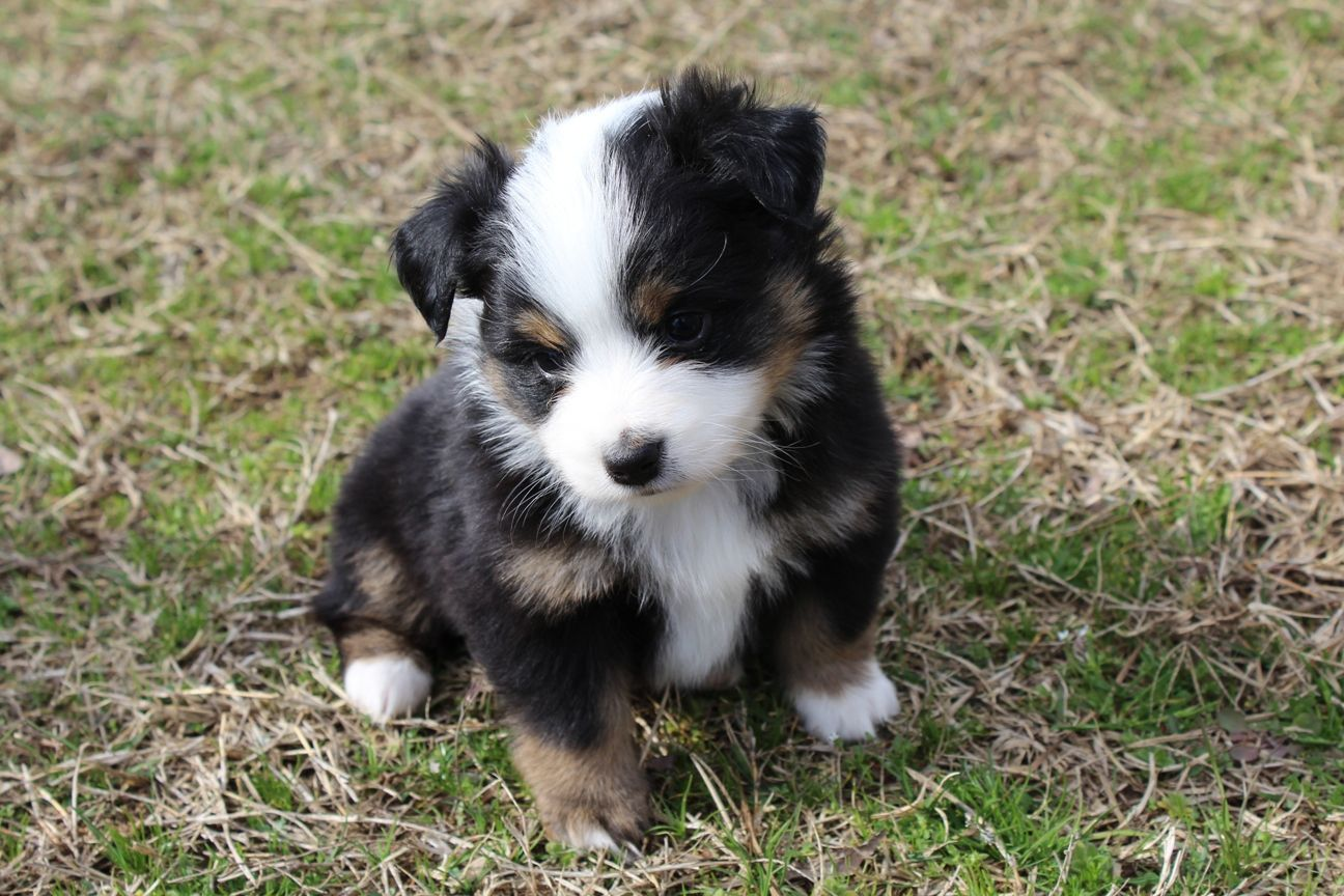 Mini Australian shepherds have gotten very, very popular - Vox
