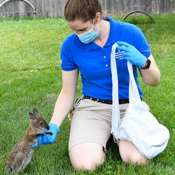 Jill Gamsby, a senior care specialist for the Chicago Zoological Society, interacts with Whitney, a Bennett's wallaby joey who is being handreared at Brookfield Zoo. Whitney was born on November 12, 2020.