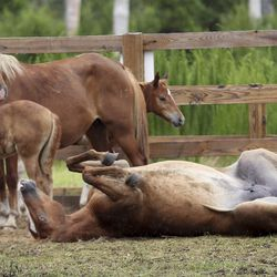 Wild ponies and foals from the southern herd rest in pens on Assateague Island, Va., after being gathered and given a vet check before their swim to Chincoteague Island on Tuesday, July 23, 2019.