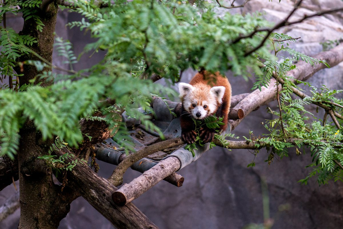 Smithsonian's National Zoo Red Panda- Rusty Goes Missing