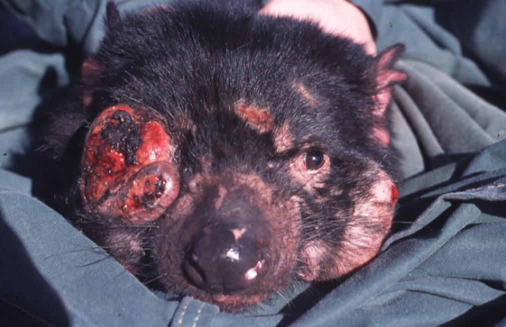 Tasmanian face cancer