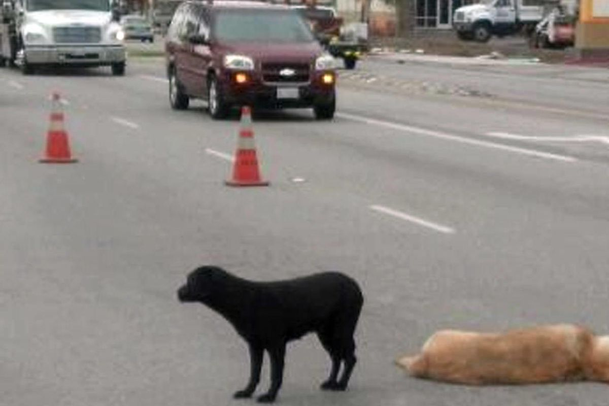 This image provided by County of Los Angeles Department of Animal Care and Control shows a black lab dog standing by another dog that was hit Saturday, April 14, 2012, in La Puente, Calif. Animal care officials removed the injured animal and took the blac
