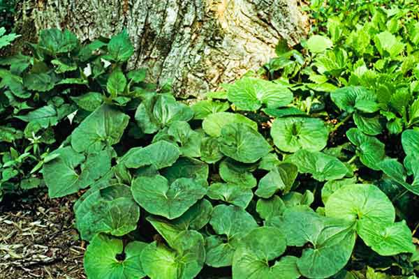 Wild Ginger (Asarum Canadense) Groundcover