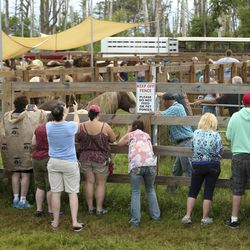 People look at wild ponies and foals from the southern herd as they rest in pens on Assateague Island, Va., after being gathered and given a vet check before their swim to Chincoteague Island on Tuesday, July 23, 2019.