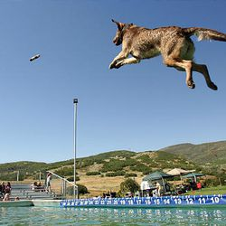 Jenny soars after a toy in the Splash Dogs competition in Midway on Friday.