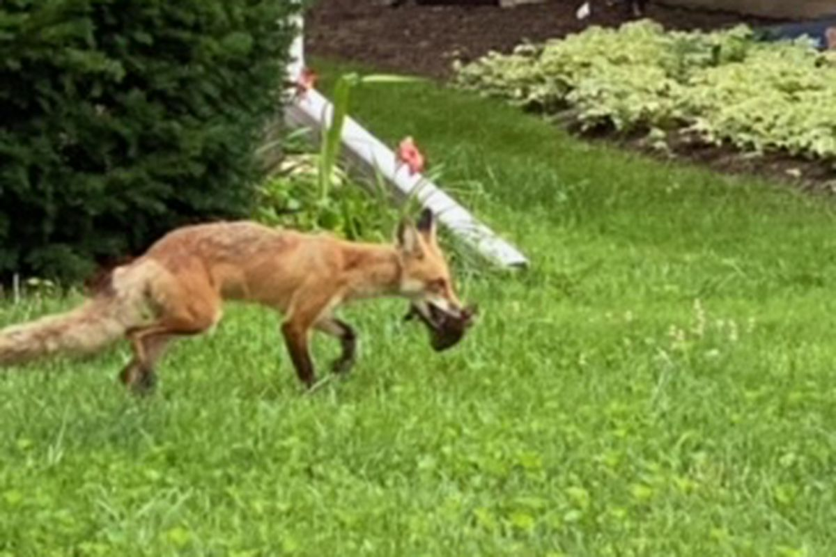 Red fox with a rabbit. Provided by Aaron Weinstein
