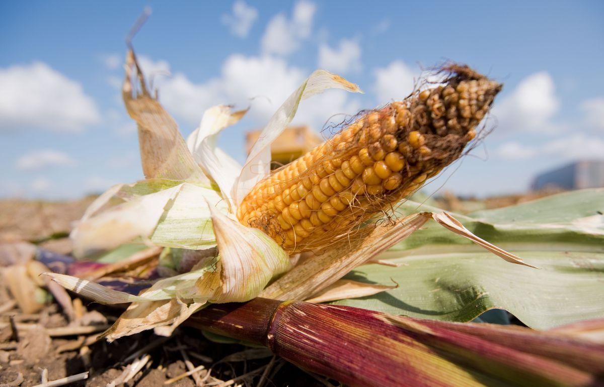 Corn harvest in Lower Saxony