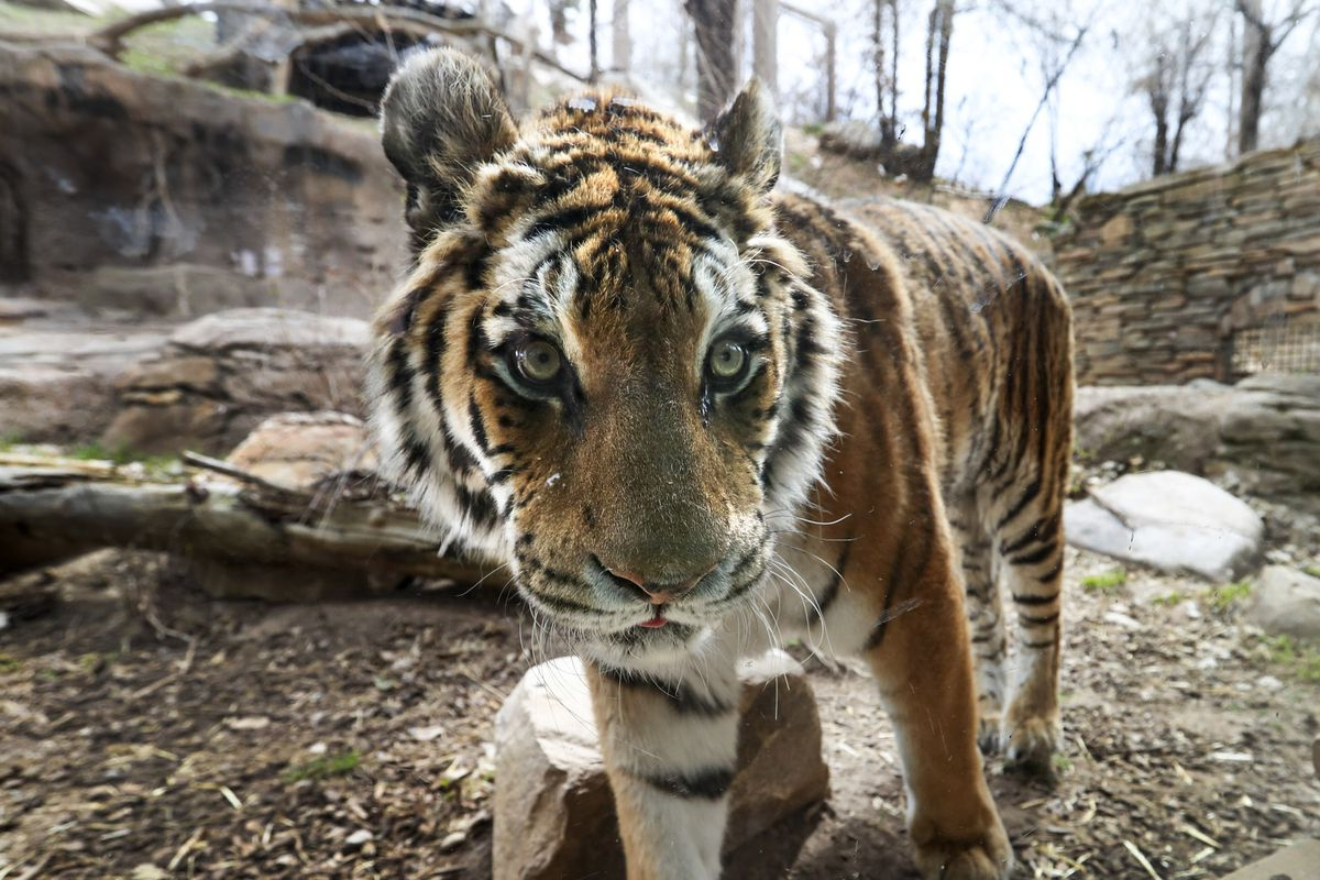 Cila, a 17-year-old Amur tiger, watches her keepers from her enclosure at Utah'sHogle Zoo in Salt Lake City on Monday, April 6, 2020. Keepers at the zoo are wearing new protective gear after it was discovered a tiger at the Bronx Zoo in New York tested positive for COVID-19.