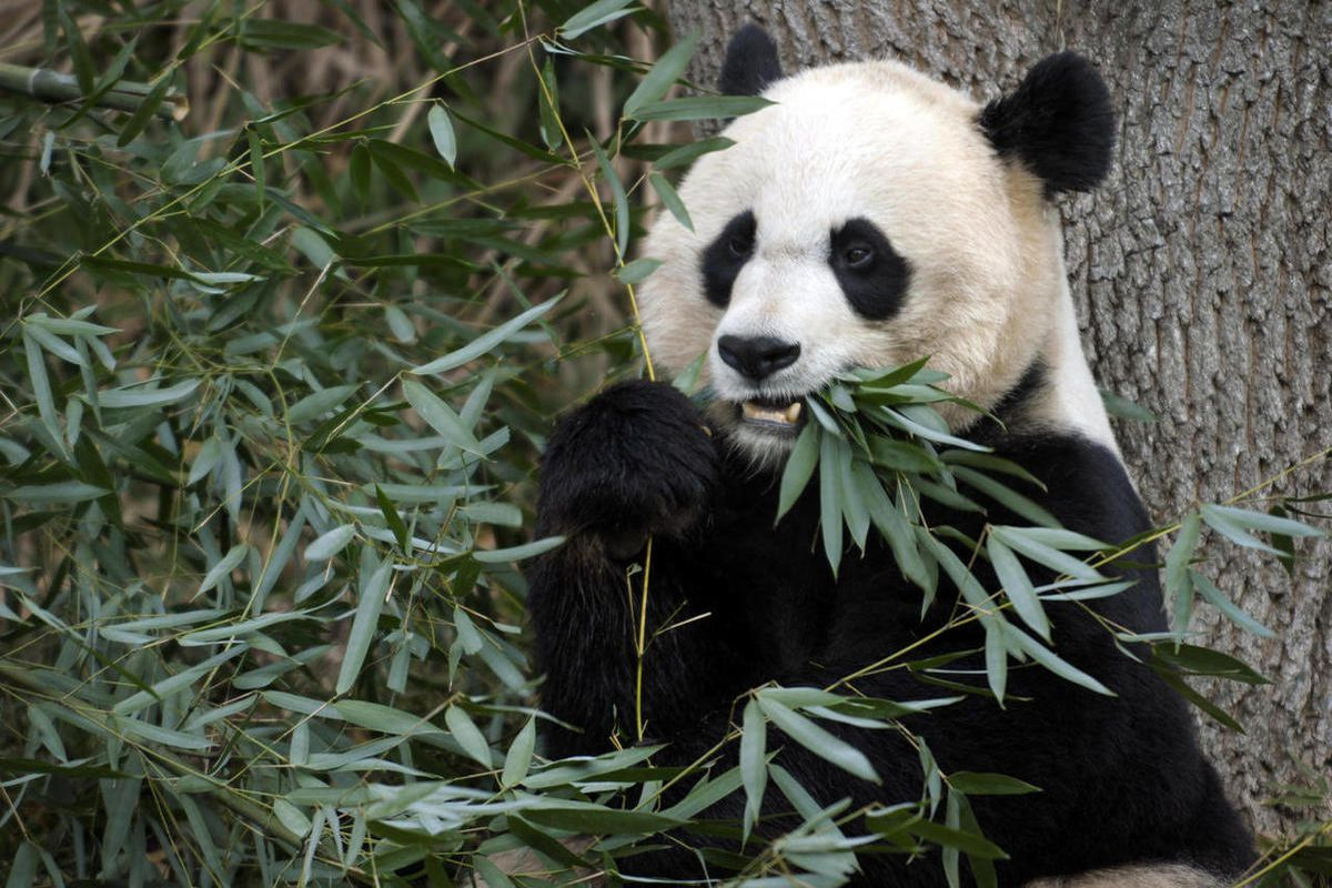FILE - In this Dec. 19, 2011 file photo shows Mei Xiang, the female giant panda at the Smithsonian's National Zoo in Washington. The panda cub born to Mei Xiang on Sept. 16, 2012, after five consecutive pseudo pregnancies over the years, died Sept. 23, 20