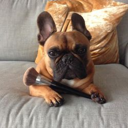 I take a break from working to rope <strong>Elvis</strong>, our four-year-old French bulldog, into posing with my favorite makeup brush. <strong>Sephora</strong> makes the most durable, blendable brushes for makeup. Poor Elvis.
