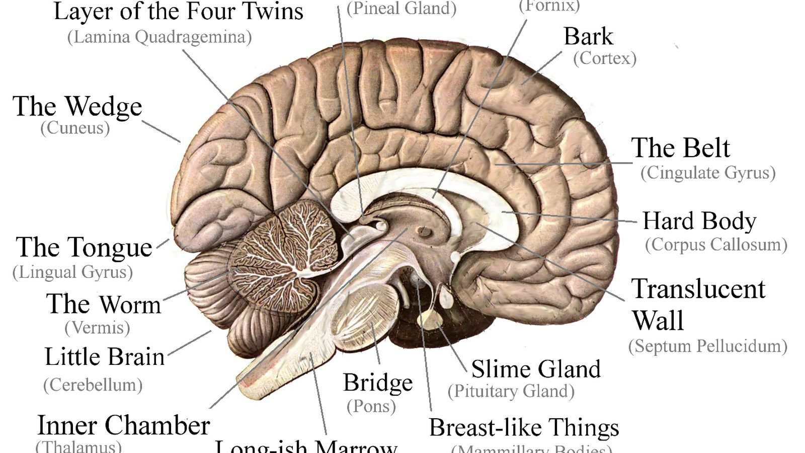 """Did you know there\'s a part of your brain called """"the slime gland ..."""