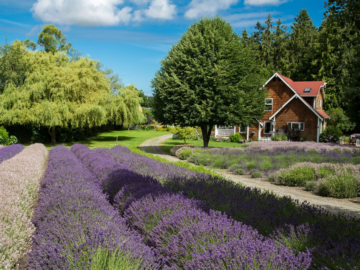 Rows of purple shrubbery next to a lawn with a farmhouse and trees.