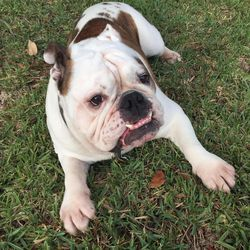 This May 16, 2017 photo provided by Solvej Schou shows 6-year-old bulldog Buddy in Pasadena, Calif. Buddy is owned by Lisha Gonzalez and her husband Victor Gonzalez. (Solvej Schou via AP)