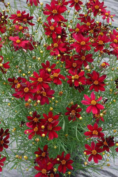 Tried And True Perennials For Your Garden This Old House