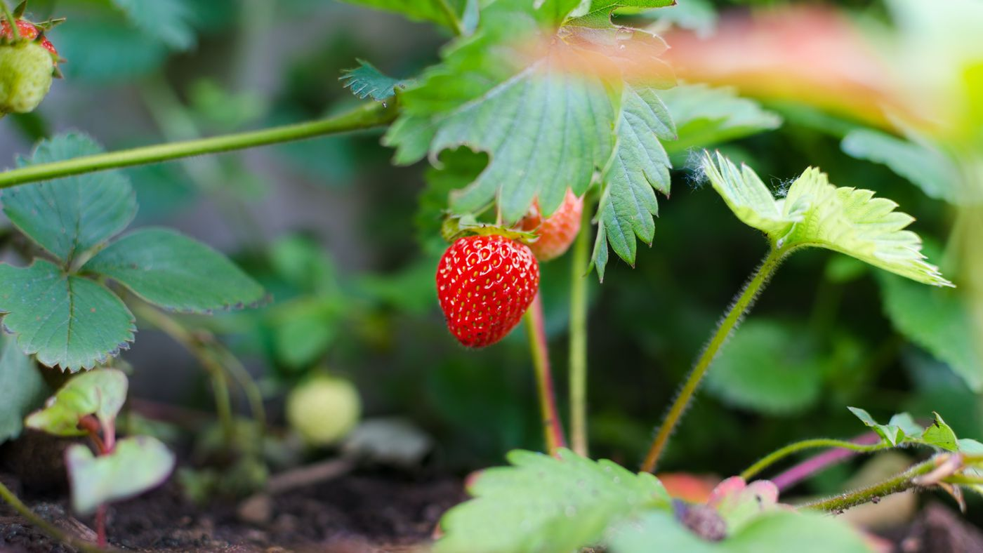 How to Grow Everbearing Strawberry Plants - This Old House