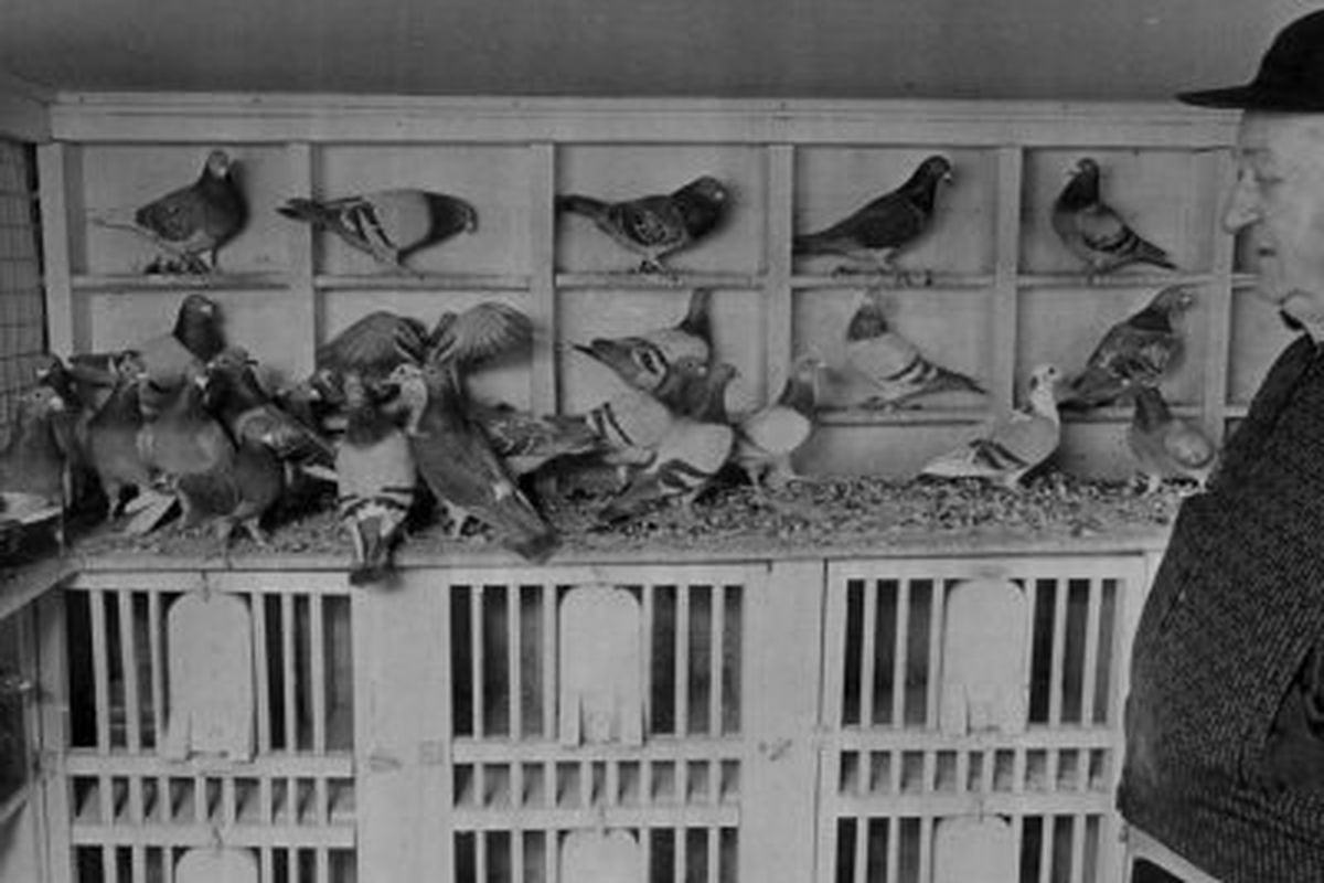 Memories and the joy of raising racing pigeons: Time to