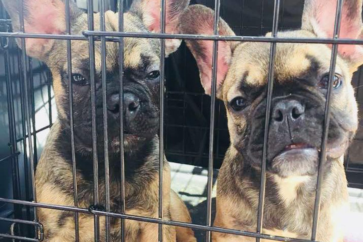 23 French bulldogs to find homes in Chicago - Chicago Sun-Times
