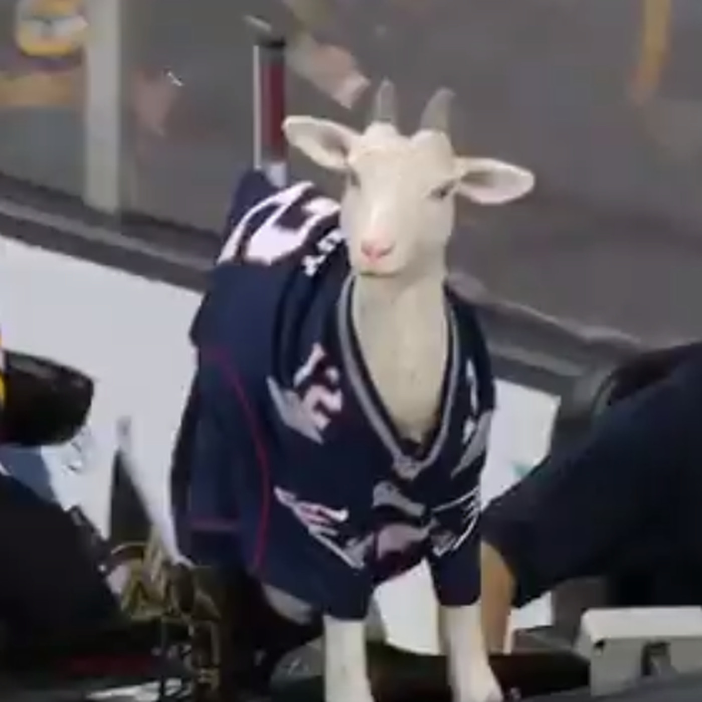 Boston Bruins Zamboni features realistic-looking goat in Tom Brady ...