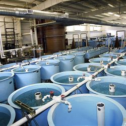 Several hundred thousand June suckers are raised in these tanks, located in the hatchery operated by Utah Division of Wildlife Resources Fisheries Experiment Station in Logan.