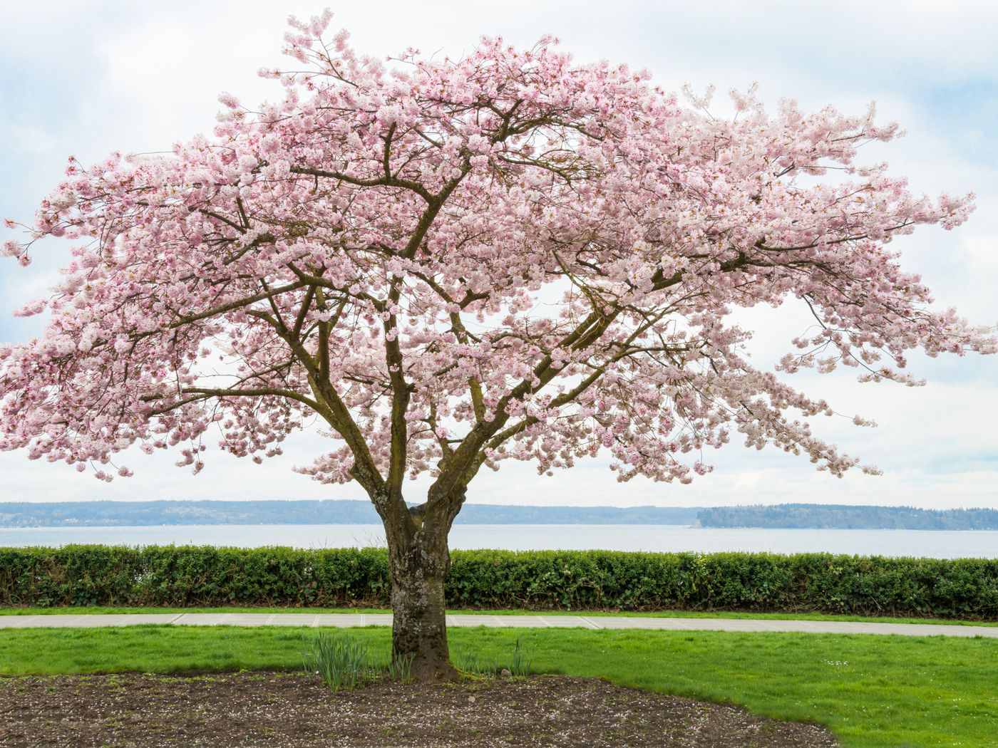 A Complete Guide To Autumn Cherry Trees This Old House