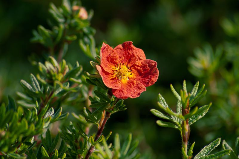 The red flower that gives the red ace Shrubby Cinquefoil its name.