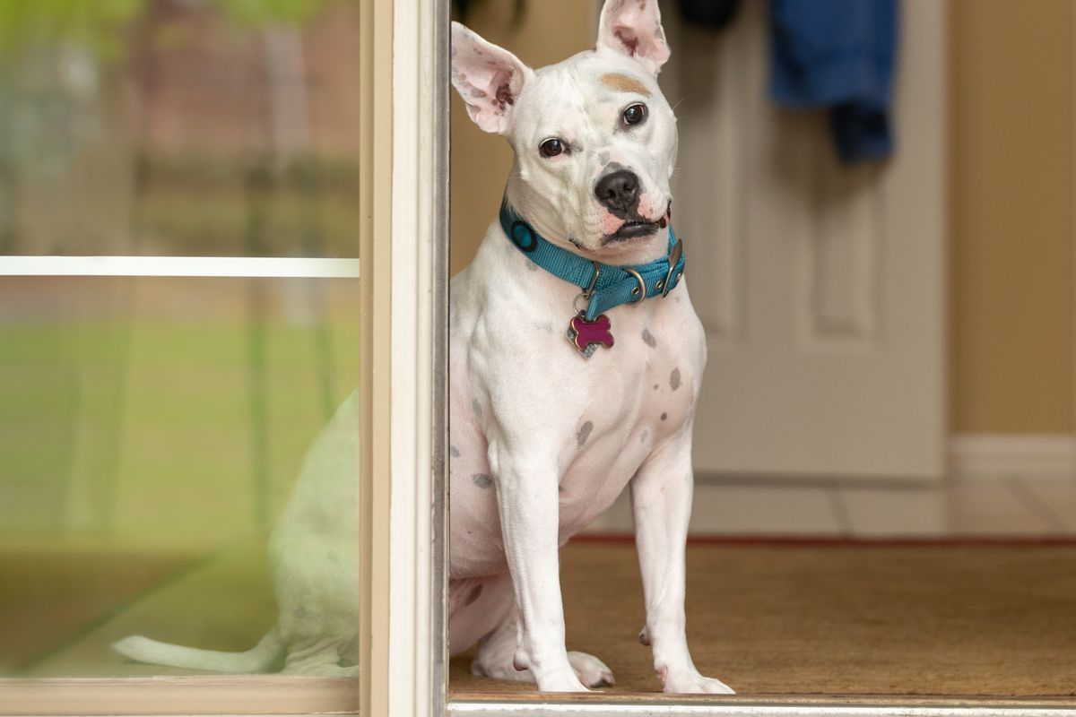 A white pitbull mix with cropped ears, blue collar, and pink bone-shaped tag sits in a doorway of a home with her head tilted.