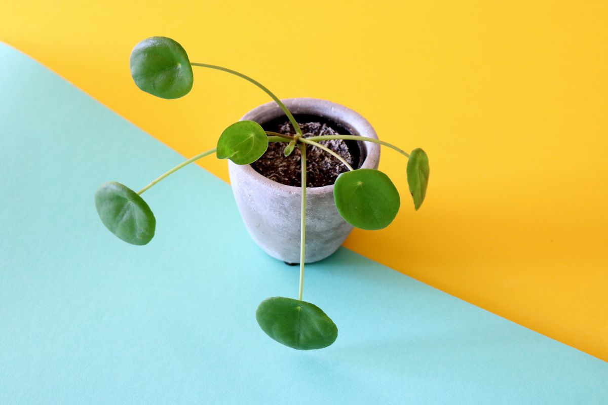Pilea peperomioides was impossible to find — now it's all