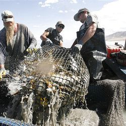 Jeff Smith, left, Cache Anderson and Justin Jimmerson, employees with Bill Loy's commercial fishing venture, pull in a basket of carp from a net in Utah Lake.