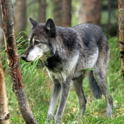 """Denali, a male gray wolf, walks between trees at the Alaska Zoo on Wednesday, Sept. 5, 2012, in Anchorage, Alaska. The 6-year-old wolf  is one of two candidates for zoo """"president"""" in a fundraiser that matches the timing of the U.S. presidential race. He's running against Ahpun, a polar bear, and ballots are $1."""