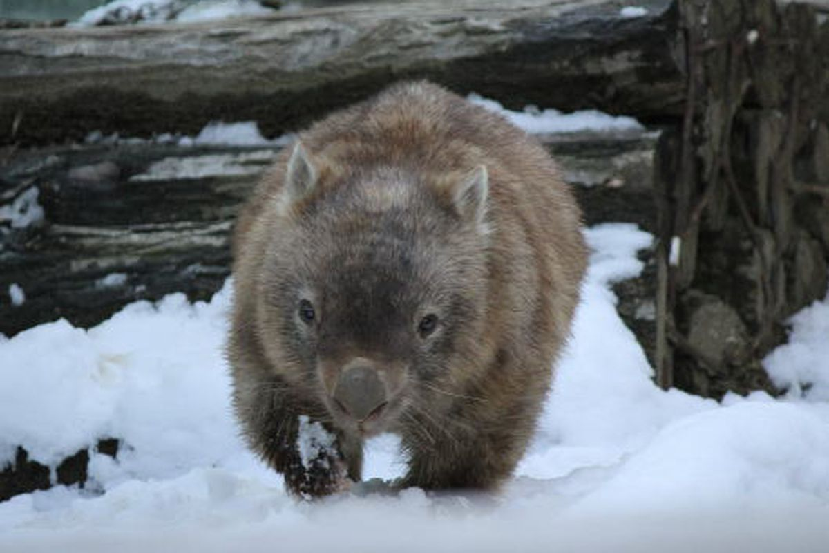 The wombat Chewbacca enjoys the snow at Japan's Tama Zoo.
