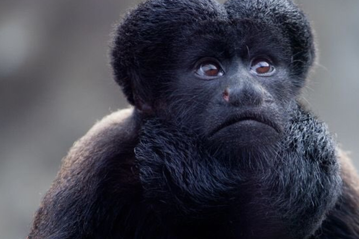 Beardy Monkey: Scientists Are Debating The 'best Beard' In Nature And