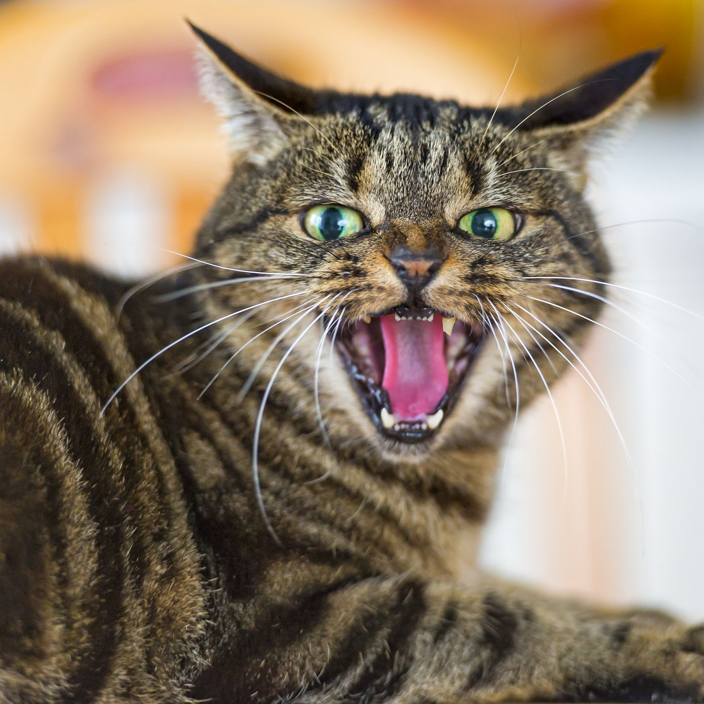 What Research Says About Cats They Re Selfish Unfeeling Environmentally Harmful Creatures Vox