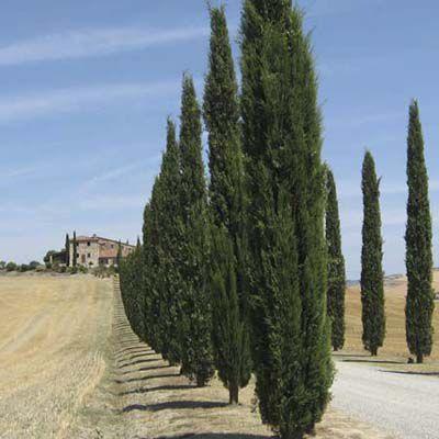 Italian Cypress Evergreen