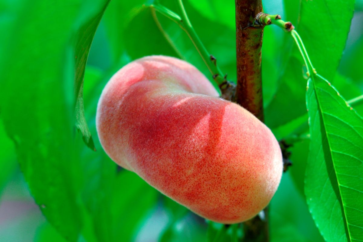 London loves peaches at the moment and they're bang in season