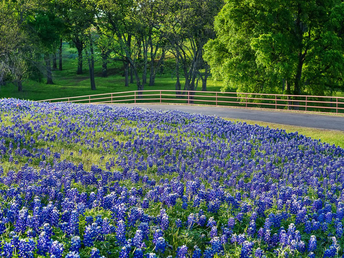 Best places to see bluebonnets in Austin and the Texas Hill