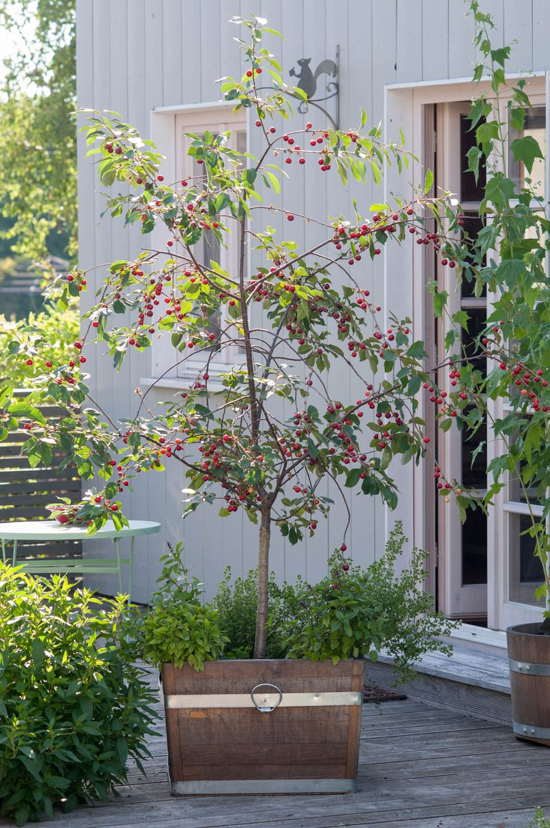 young cherry tree on patio