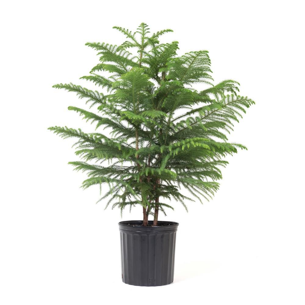 A pine tree is planted in a black plastic pot.