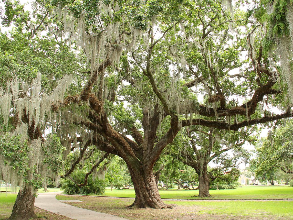 A burly live oak hung with Spanish moss shades a walking trail in a park.