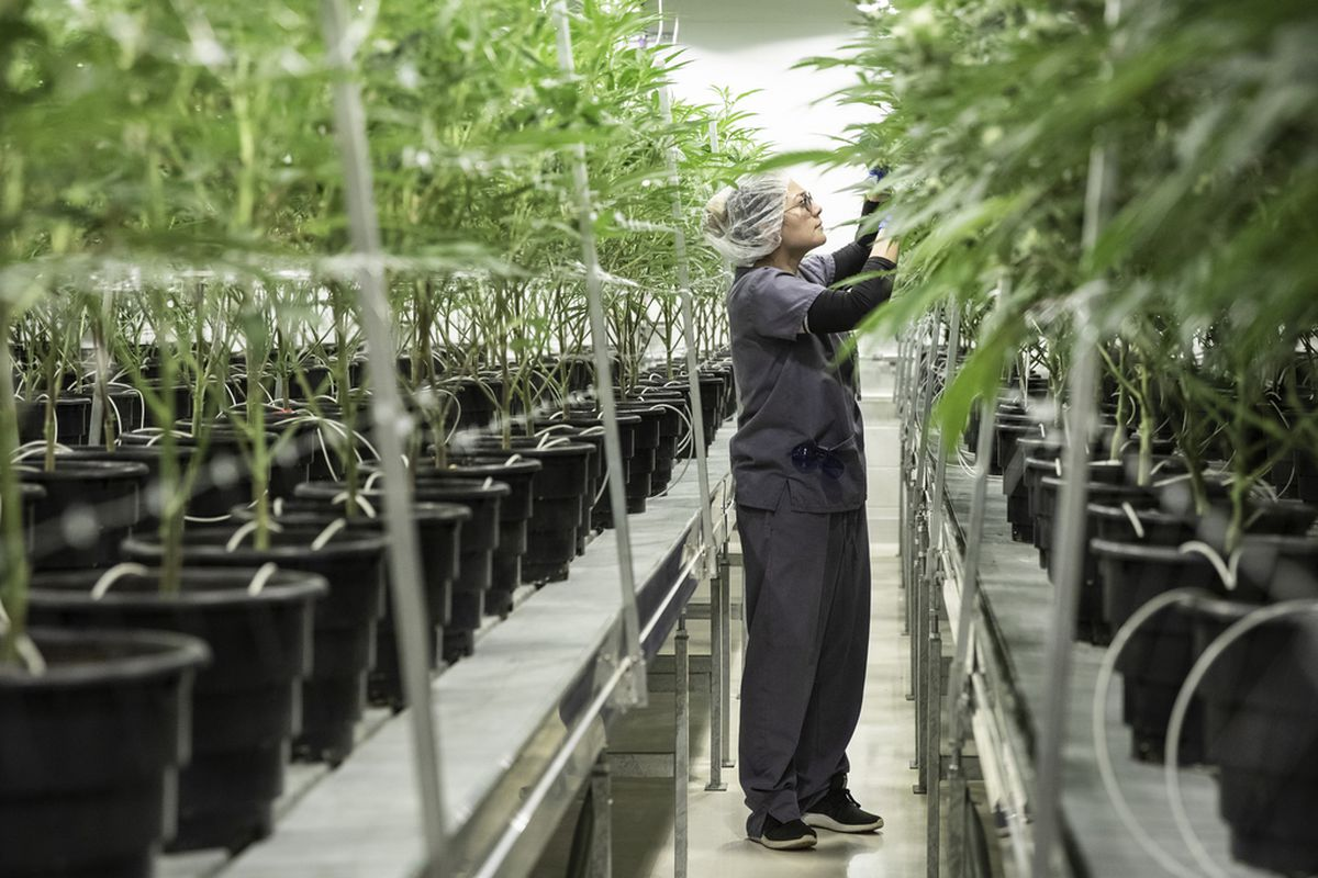 Ericka Hogan, cultivation manager at Illinois Grown Medicine, spreads medical marijuana branches to allow light penetration for proper flower development in the cultivation center's flowering room in Elk Grove Village, Monday morning, May 6, 2019.
