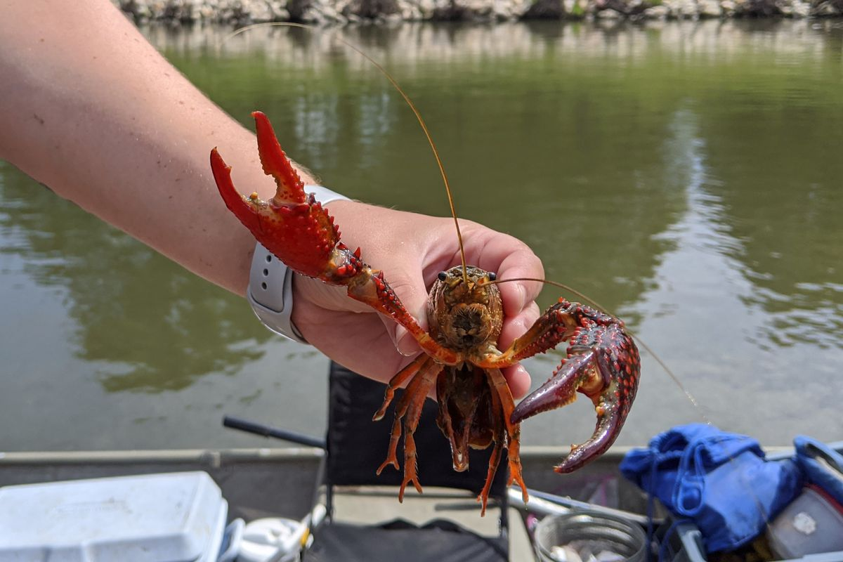 Rachel Egly holds an invasive male red swamp crayfish, trapped from the North Shore Channel. Credit: Dale Bowman
