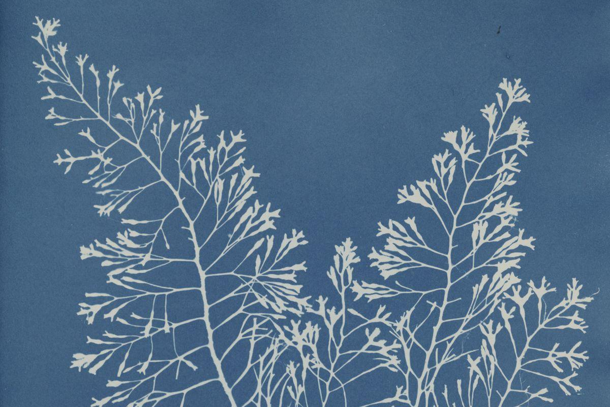 One of Anna Atkins' historic cyanotypes.