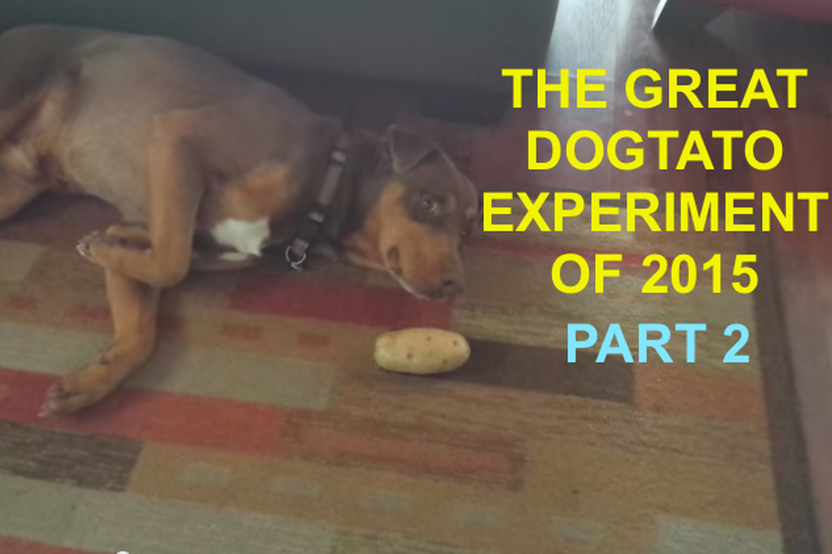 What happened when we gave our dogs potatoes  - SBNation.com d10b4e5e7