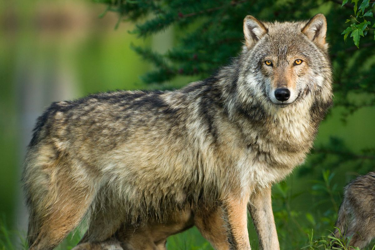 endangered species list 2019  trump wants to remove gray wolves