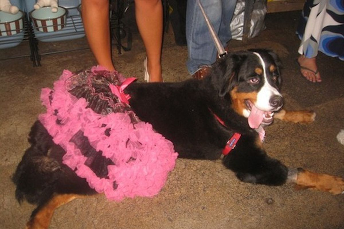 """Prom Queen Holly models her flirty skirt from Century 21 via <a href=""""http://www.examiner.com/small-dog-in-new-york/puppy-prom-picture"""">examiner.com</a>"""