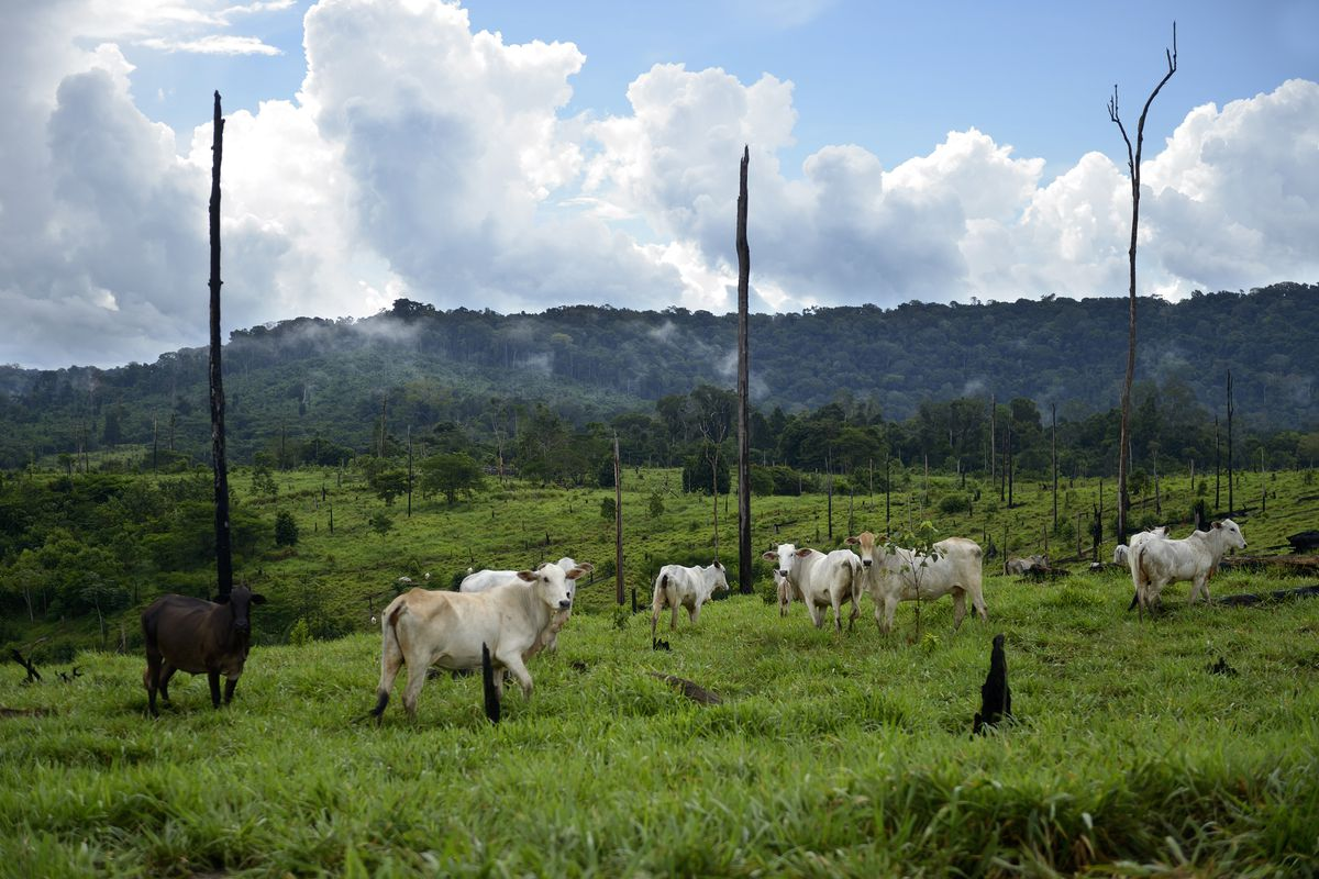 Cows graze on cleared land in Brazil.
