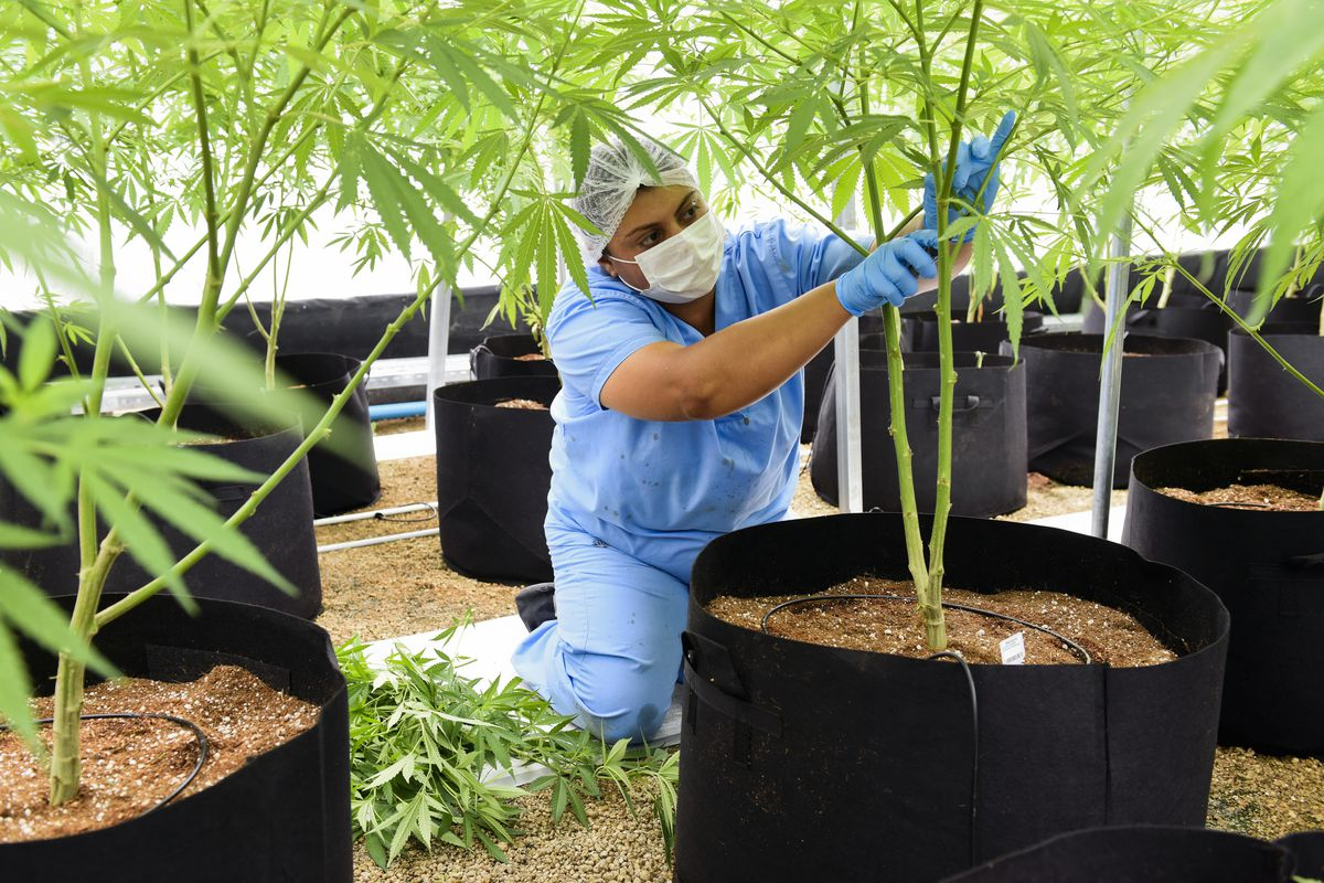FILE - An employee prunes a marijuana plant, at a Fotmer SA, greenhouse in Nueva Helvecia, Uruguay, Wednesday, Jan. 30, 2019. The first crop of prized flowers will be harvested for their cannabis oil in March. Now that Utah has legalized medical cannabis,