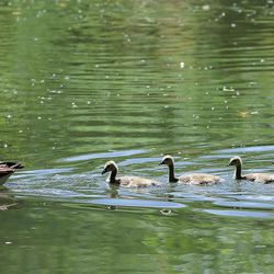 """A goose and her goslings swim in the water at the confluence of of three Salt Lake Valley creeks — Emigration, Red Butte and Parleys — on Wednesday, May 31, 2017. Seven Canyons Trust is proposing to """"daylight"""" the confluence at the Jordan River at about 1300 South and 900 West."""